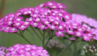 Achillea plants