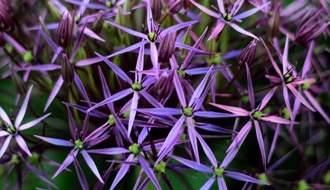 Allium plants