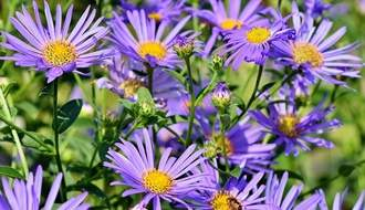Aster plants