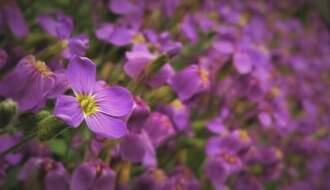 Aubretia plants