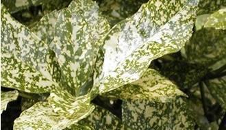 Aucuba hedging plants (spotted laurel)