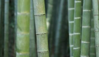 Bamboo hedging plants