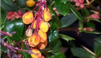 Berberis hedging plants