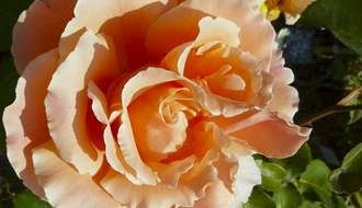 Best roses for cut flowers
