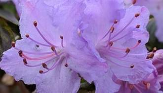 Blue flowering rhododendrons