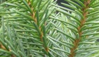 Conifers for clay soil