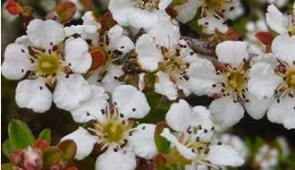 Cotoneaster hedging plants