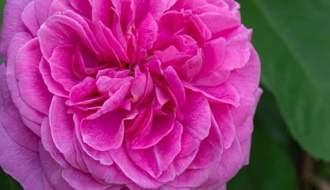 Disease resistant roses