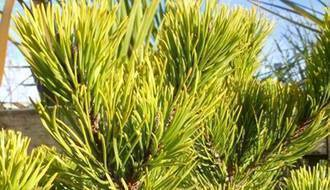 Drought tolerant conifer plants