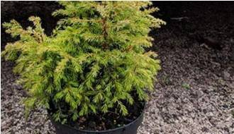 Easy to grow conifer plants