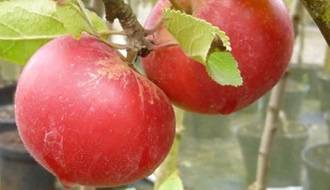 Easy to grow fruit trees