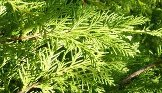 Fast growing conifers