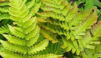 Fern plants for ground cover
