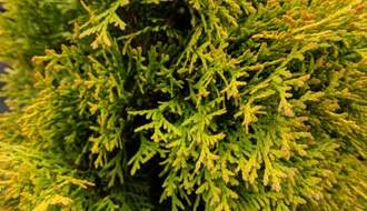 Gold conifers