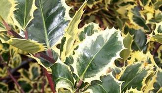 Holly hedging plants