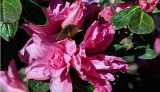 Japanese azaleas