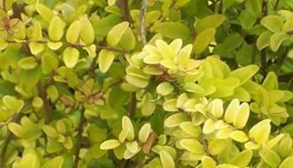 Lonicera hedging plants