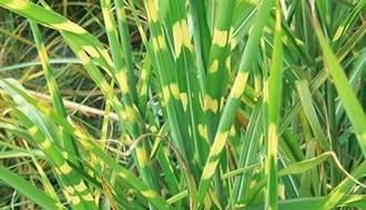 Miscanthus plants