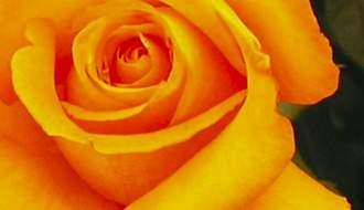 Orange rose plants