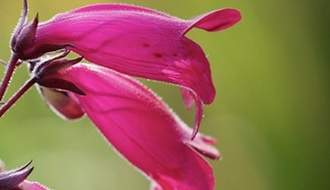 Penstemon plants
