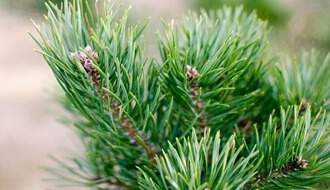 Pine conifer trees