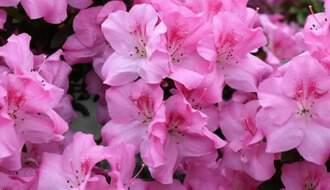 Pink flowering azaleas