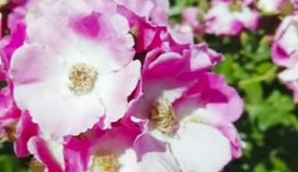Polyantha roses