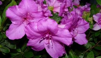 Purple flowering azaleas