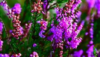 Purple flowering heathers