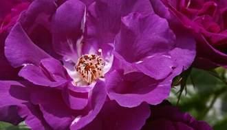 Purple rose plants