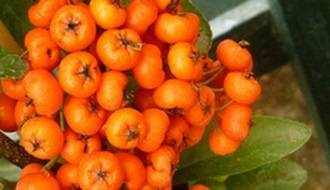 Pyracantha hedging plants