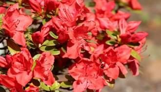 Red flowering azaleas