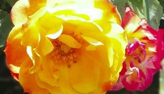 Repeat flowering roses