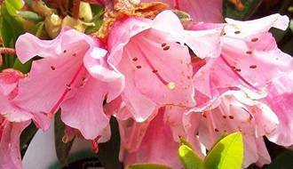 Rhododendrons for acidic soil