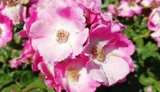 Rose plants for ground cover