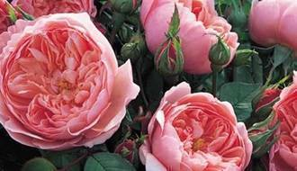 Roses for clay soil