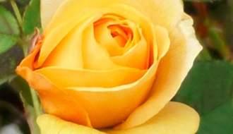 Roses for full sun