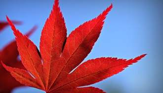 Shop all Japanese maple trees