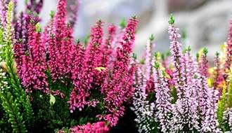 Shop all heather plants