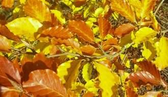 Trees for autumn colour