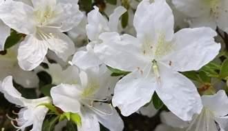 White flowering azaleas