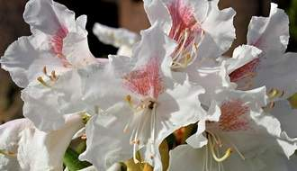 White flowering rhododendrons