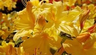 Yellow flowering azaleas