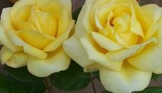 Yellow rose plants