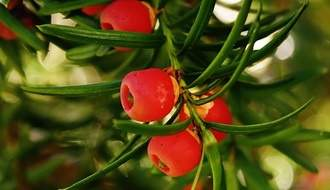 Yew conifer plants
