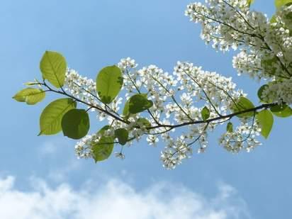 Prunus Padus flowers with sky