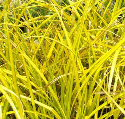 Buy Carex elata Aurea online from Jacksons Nurseries