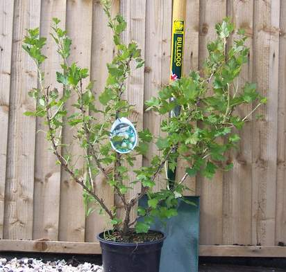 Buy Gooseberry Invicta online from Jacksons Nurseries