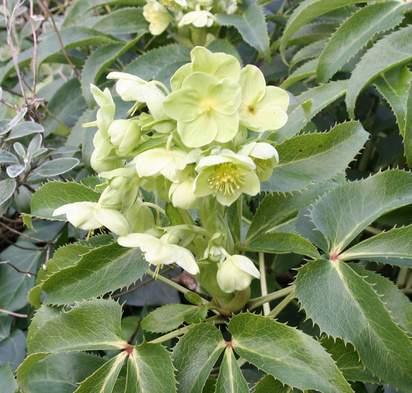 Buy Helleborus argutofolius (Corsican Hellebore) online from Jacksons Nurseries