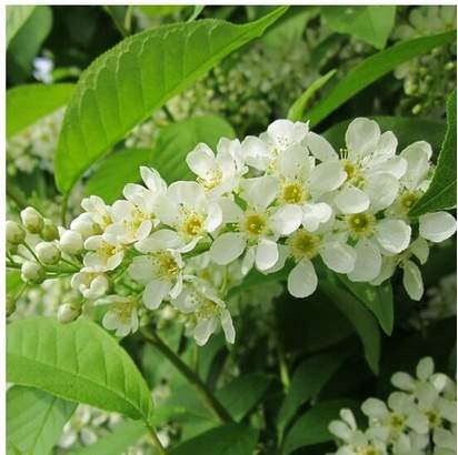 Prunus Padus white flowers